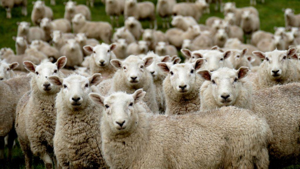 グループ分けを待つ羊さんたち